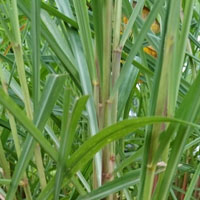 Lemongrass (Cymbopogon Flexuosus)